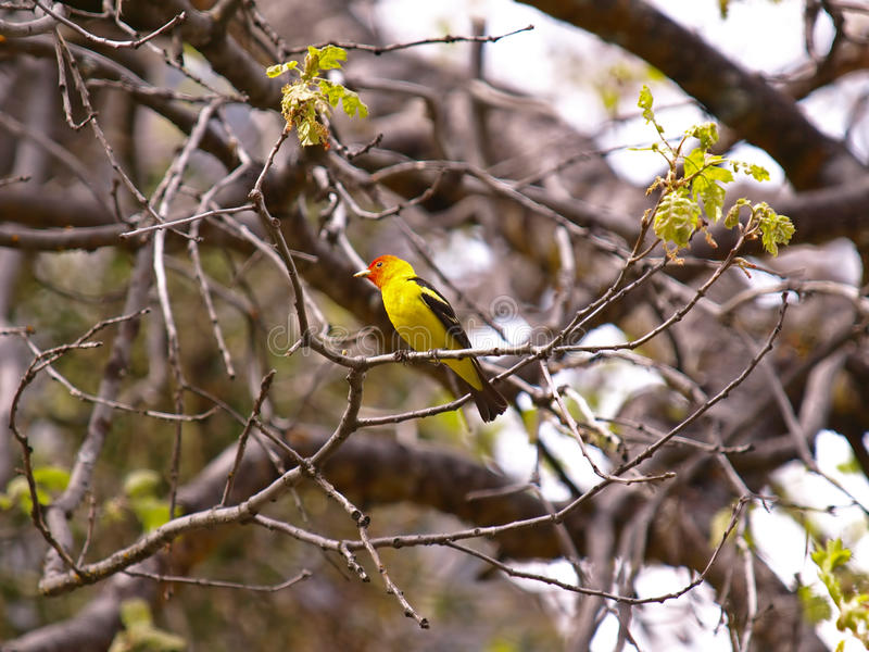 Download Western Tanager stock image. Image of head, background - 14360089