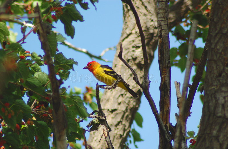 Western Tanager stock photography