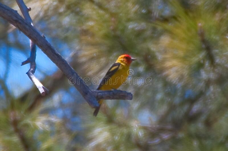 Western tanager royalty free stock photos
