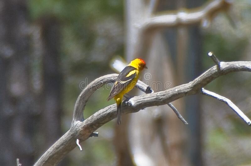 Western tanager stock images
