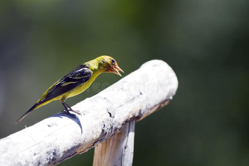 Download Western Tanager, Piranga Ludoviciana Royalty Free Stock Photography - Image: 14454297