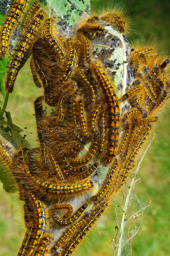 Western Tent Caterpillar infestation. Western tent caterpillars infesting an alder branch. Larvae feed themselves by denuding the leaves from deciduous trees royalty free stock photo