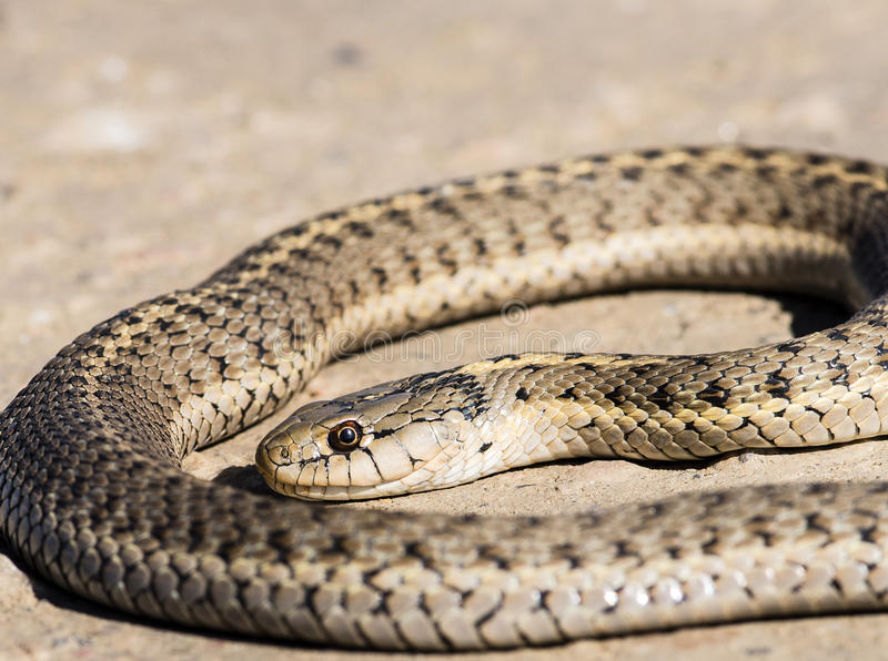 Western Terrestrial Garter Snake (Thamnophis elegans) Coiled on Ground. With Head Detail stock photo