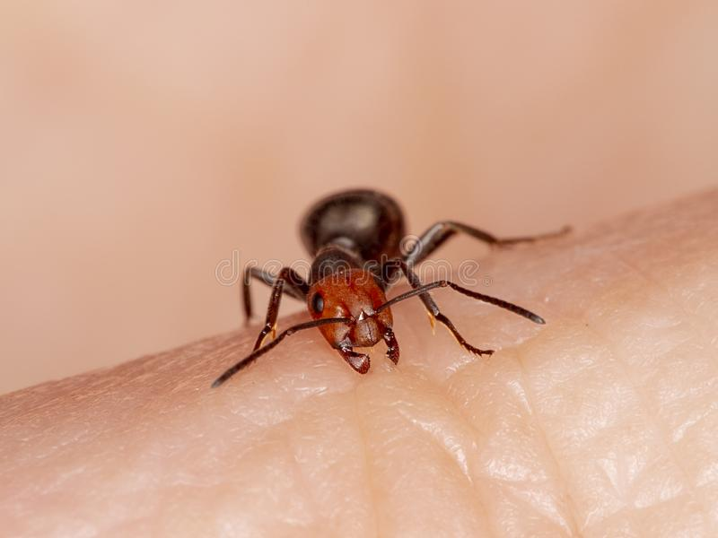 Western thatching ant, Formica obscuripes, biting. A person`s finger, front view. This species is native to North America royalty free stock photo