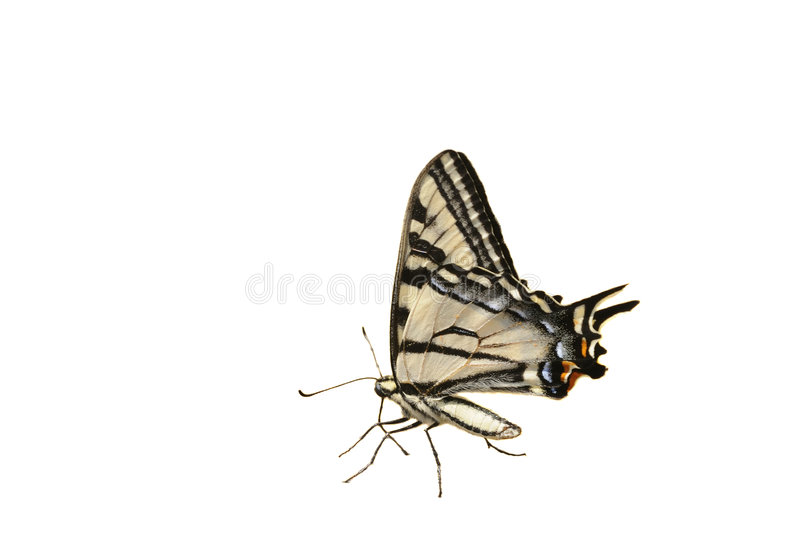 Western Tiger Swallowtail butterfly royalty free stock photos