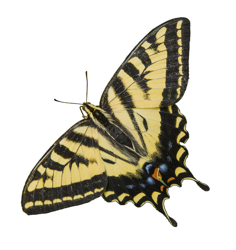 Western Tiger Swallowtail Butterfly isolated white. The Western Tiger Swallowtail Butterfly Papilio rutulus is multicolored with yellow, gold, black orange and stock photography