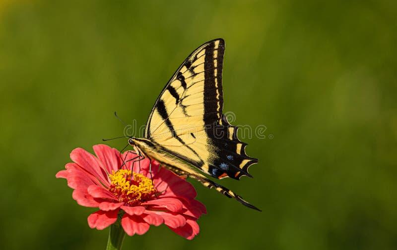 Western Tiger Swallowtail, Papilio rutulus, on Zinnia Flower at Montrose Botanic Gardens, Colorado stock image