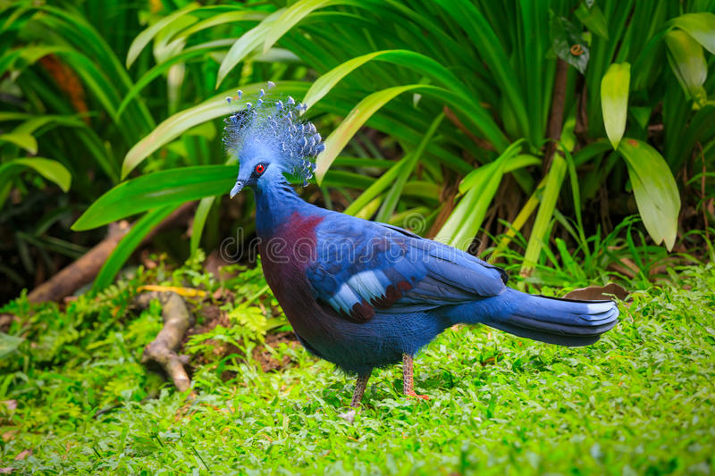 Western Victorian crowned-pigeon royalty free stock photo