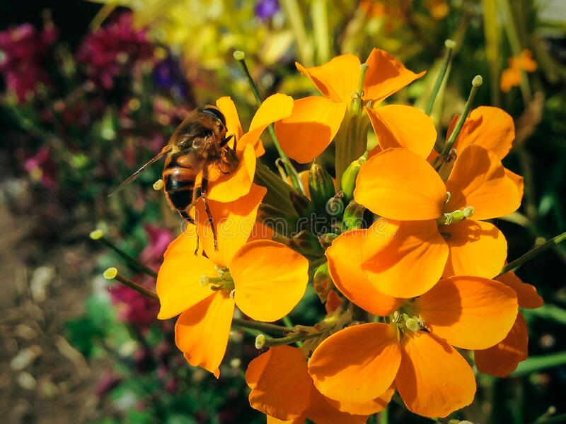 Western Wallflower With A Bee Free Public Domain Cc0 Image