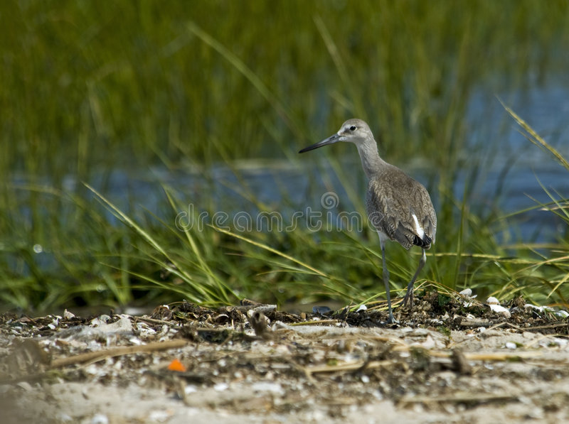 Download Western Willet Stock Images - Image: 8760334