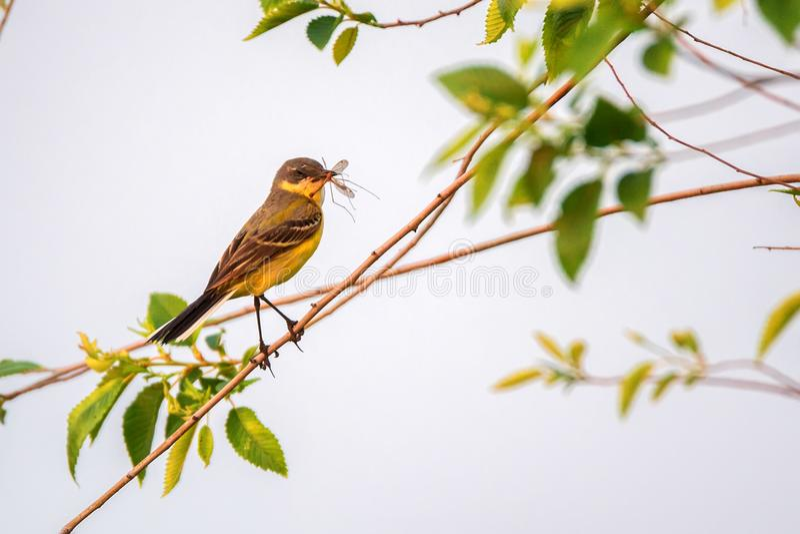 Western Yellow Wagtail or Motacilla flava on tree royalty free stock photos