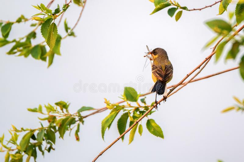 Western Yellow Wagtail or Motacilla flava on tree royalty free stock image