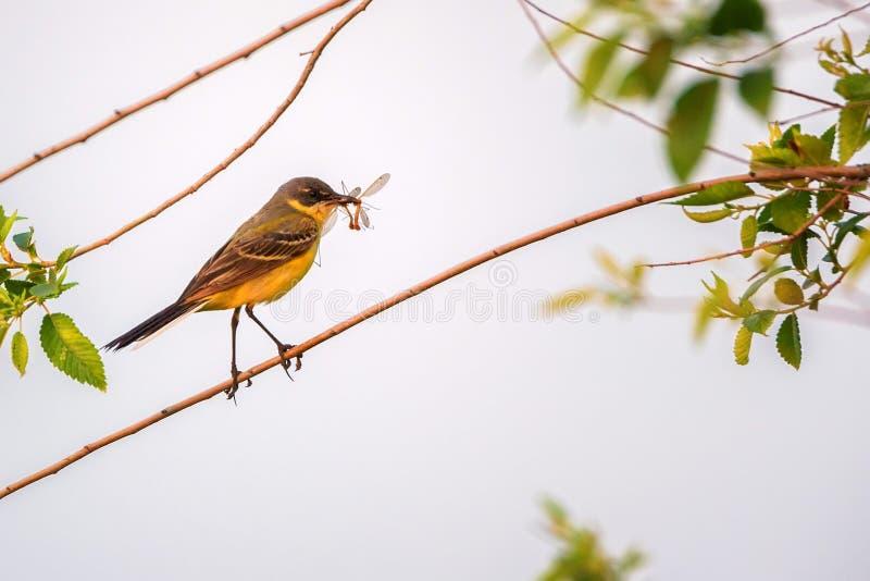 Western Yellow Wagtail or Motacilla flava on tree royalty free stock photo