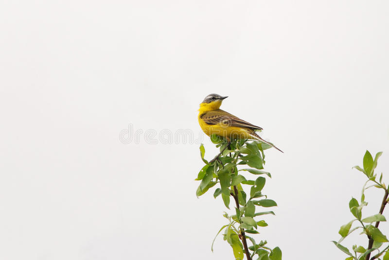 Western Yellow Wagtail. On the treetop royalty free stock photo