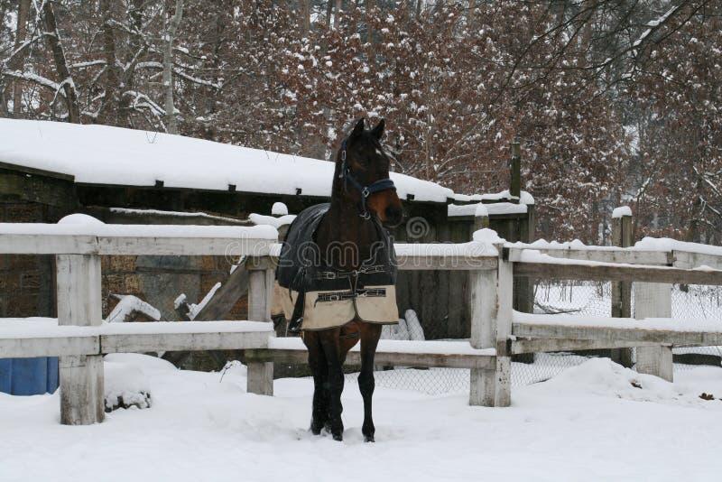 Westfaals paard in paddock in de sneeuw in de winter stock afbeelding
