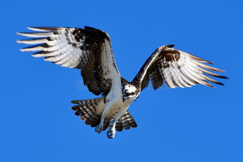 Westfischadler im Flug #2 stockbild
