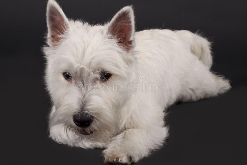 Westhochland-Terrier stockfotografie