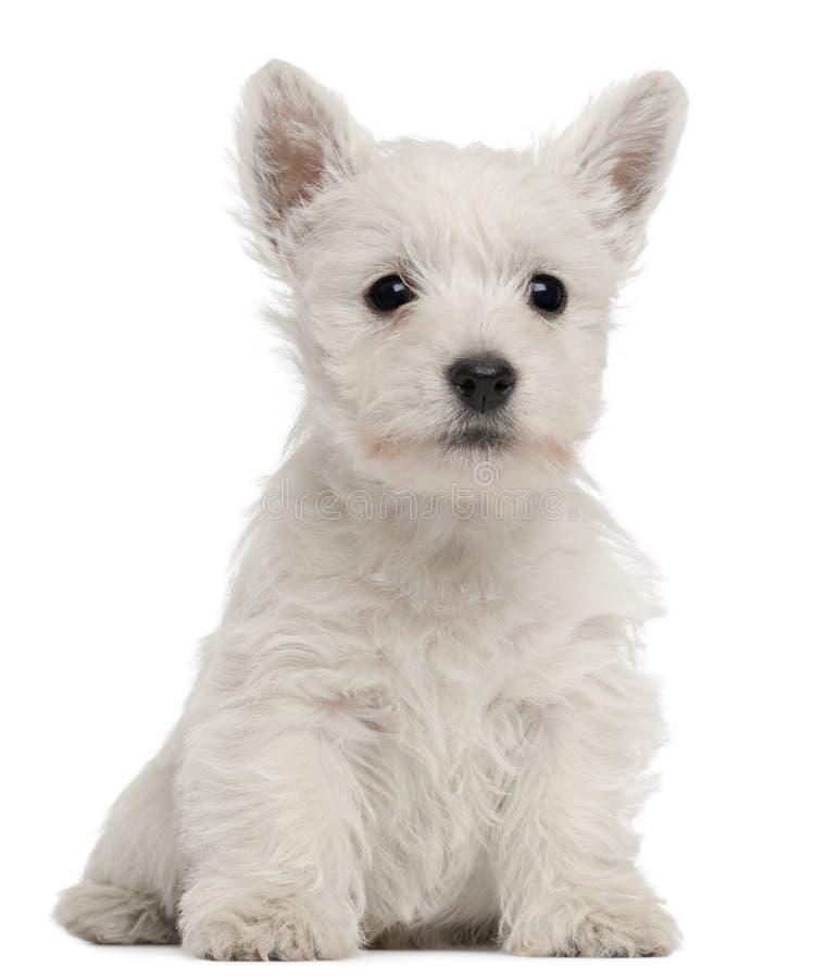 Westhochland-Terrierwelpe, 7 Wochen alt lizenzfreies stockbild