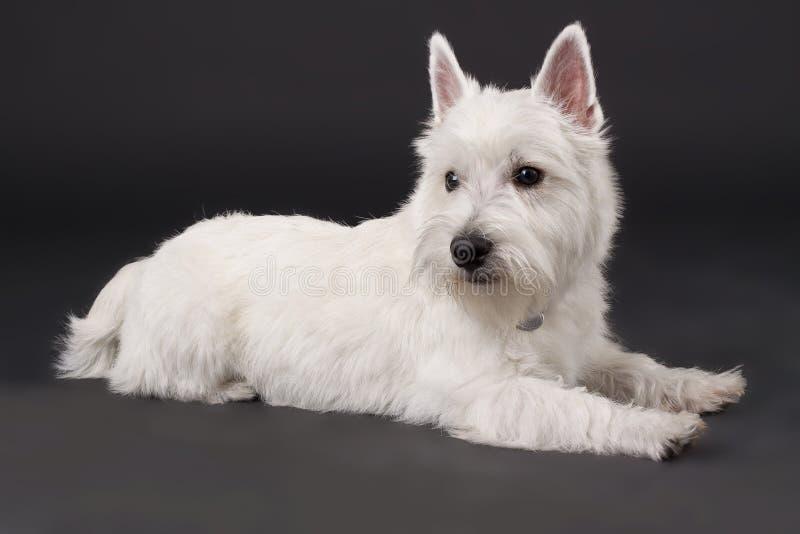 Westhochland-weißer Terrier lizenzfreie stockbilder