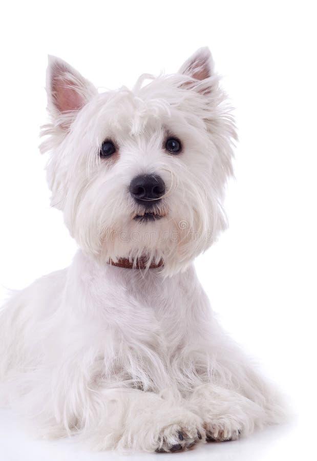 Westhochland-weißer Terrier lizenzfreie stockfotos