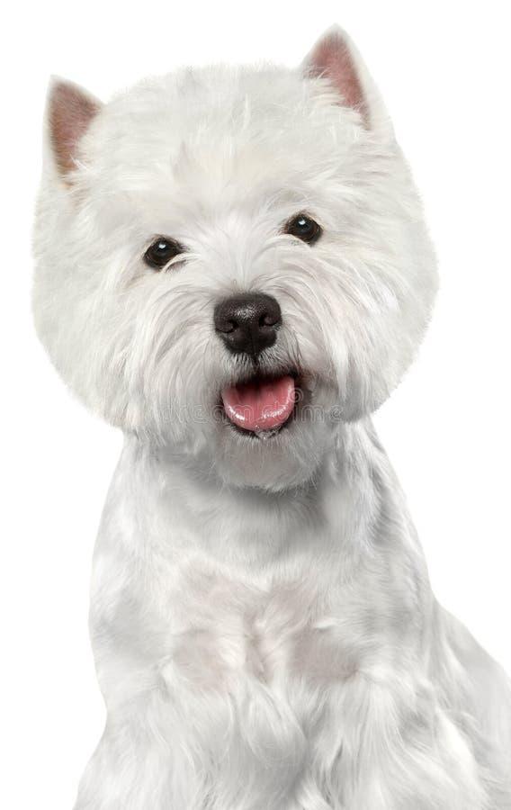 Westhochland-weißer Terrier stockbilder