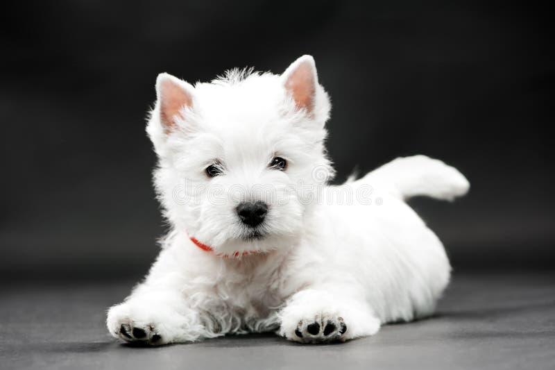 Westhochland-weißer Terrier lizenzfreies stockfoto