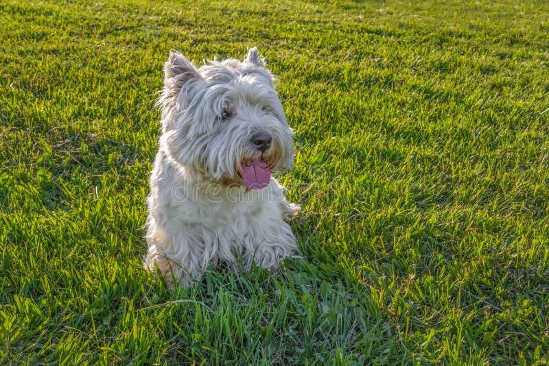 Download Westhochland-weißer Terrier Stockbild - Bild von tier, schauen: 27731671