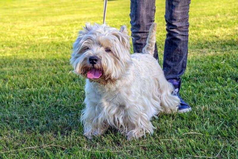 Download Westhochland-weißer Terrier Stockfoto - Bild von west, terrier: 27731680