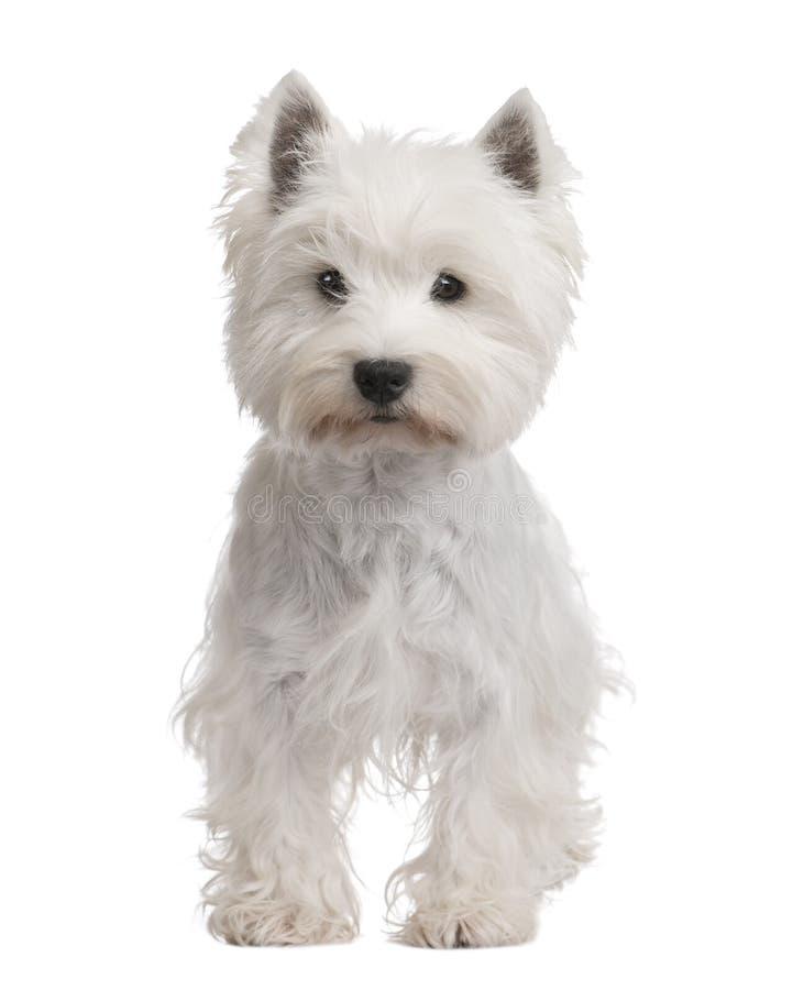 Westhochland-weißer Terrier (3 Jahre) lizenzfreie stockfotos