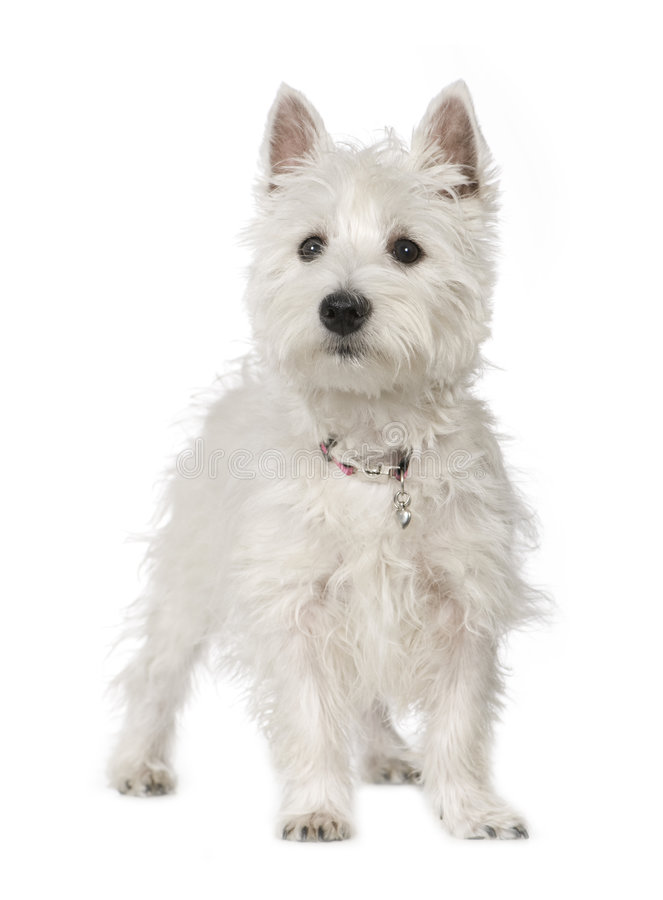 Westhochland-weißer Terrier (5 Monate) lizenzfreie stockbilder