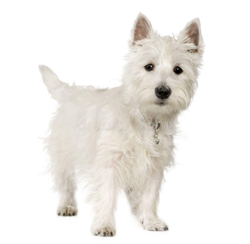 Westhochland-weißer Terrier (5 Monate) stockbild