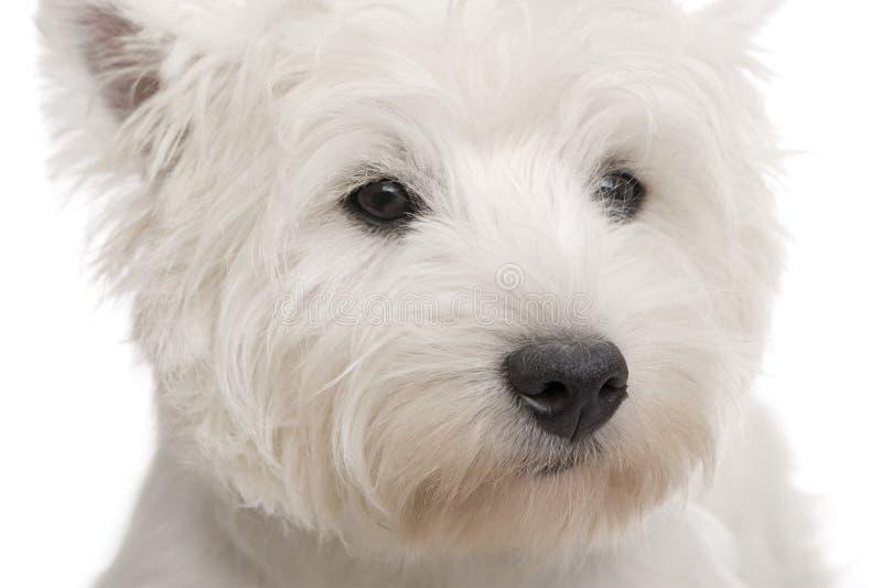 Westhochland-weißer Terrier (8 Monate) lizenzfreies stockbild