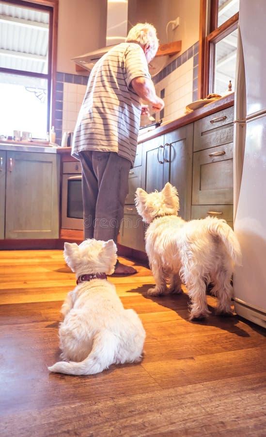 Westie выслеживает умолять для еды по мере того как выбытый старший мужчина варит в наборе стоковая фотография rf