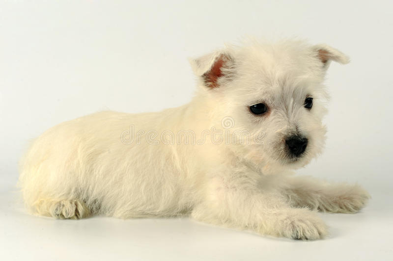Download Westie stock photo. Image of terrier, terriers, west - 12962418