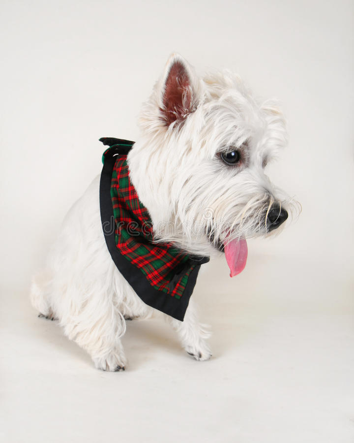 Download Westie stock photo. Image of tongue, scottish, canine - 16862700
