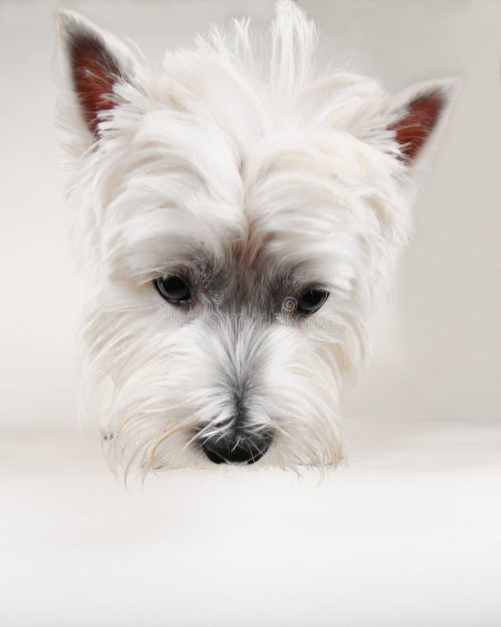 Download Westie imagem de stock. Imagem de cute, orelhas, puppy - 16863069