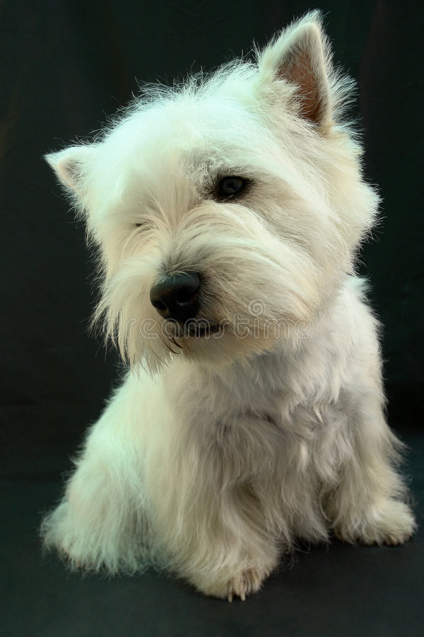 Westie 2 royalty free stock photography