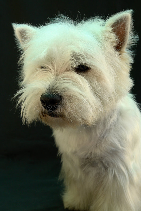Westie stock photos