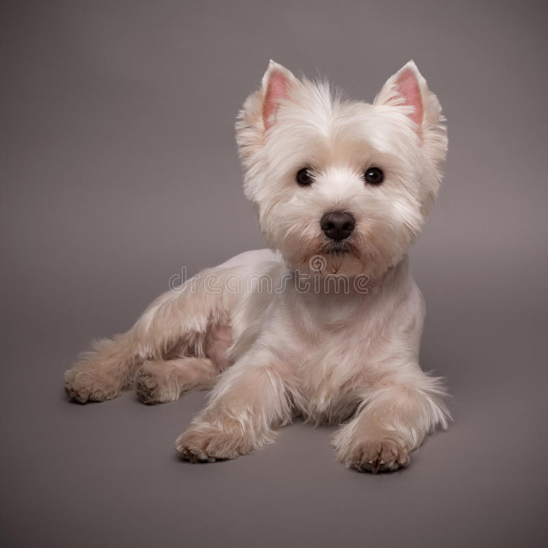 Westie. Adorable West Highland Terrier (Westie) on a gray background royalty free stock images