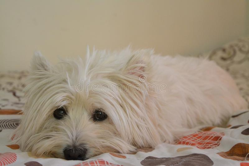 Westie in the bed. Ready for a sleep royalty free stock photo