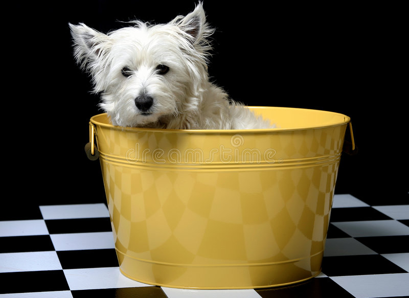 Westie in a bucket royalty free stock photos