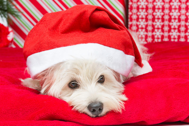 Westie in christmas hat. Westie dog in winter hat lying on red cover surrounded by christmas presents royalty free stock photos