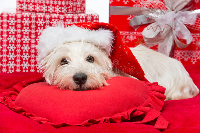 Download Westie in christmas hat stock photo. Image of winter - 35820652