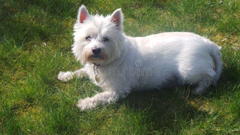 Westie. Dog animal sitting white stock photos