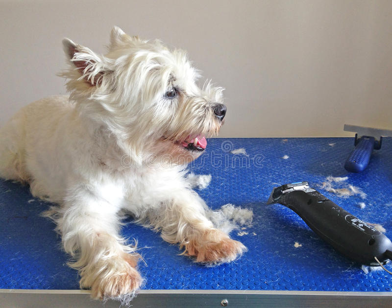 Westie dog being groomed with clippers. West highland terrier westie dog in the middle of being groomed with clippers royalty free stock photos