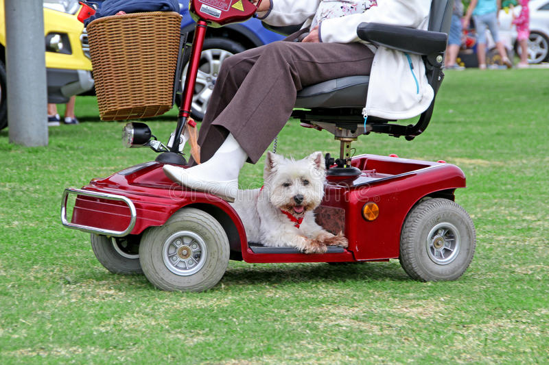 Westie dog on disability scooter. Photo of a tired westie dog hitching a ride on a disability scooter in a kent park. photo taken 28th june 2015 and ideal for royalty free stock image