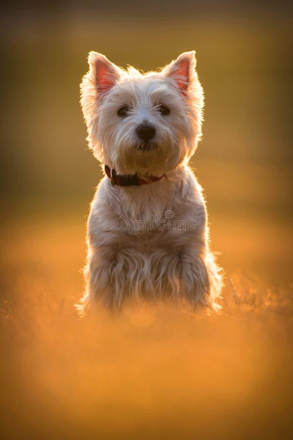 Westie dog. On the meadow stock photos