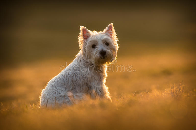 Westie dog. On the meadow royalty free stock photography