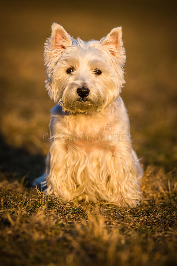 Westie dog. On the meadow stock photography