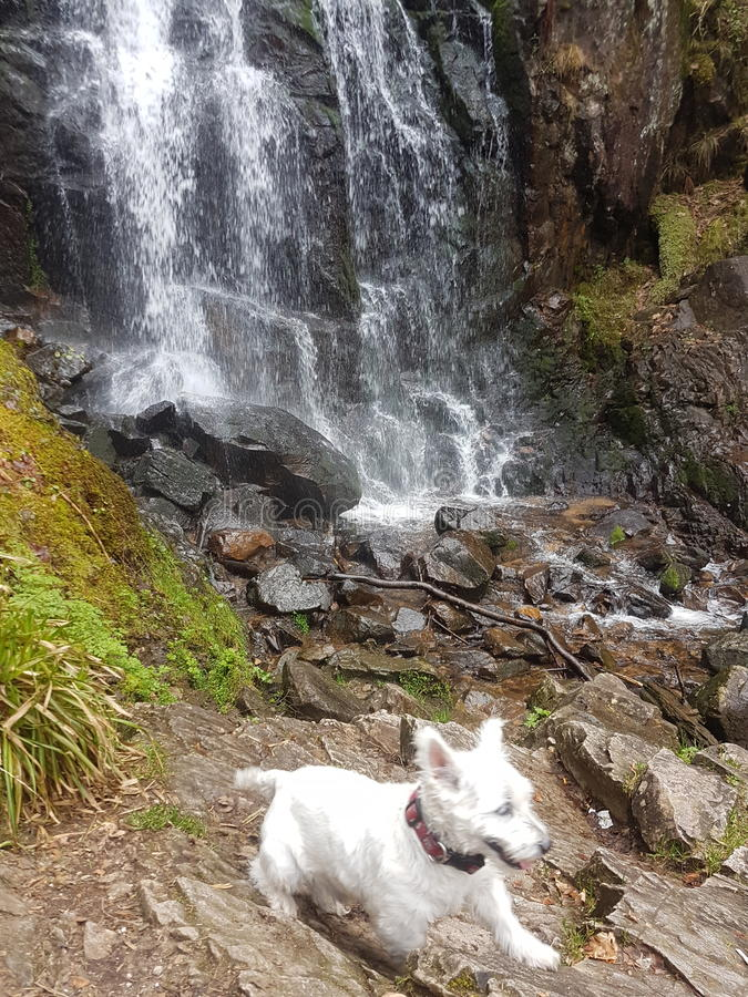 Westie dog in nature stock images